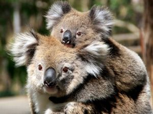 koala-mother-baby_19891_600x450